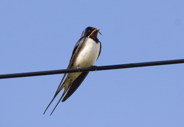 Swallow with Twig