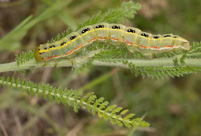 Larva of Sword Grass Moth