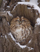 Tawny Owl at Snowy Roost