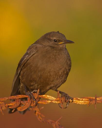 Tussacbird