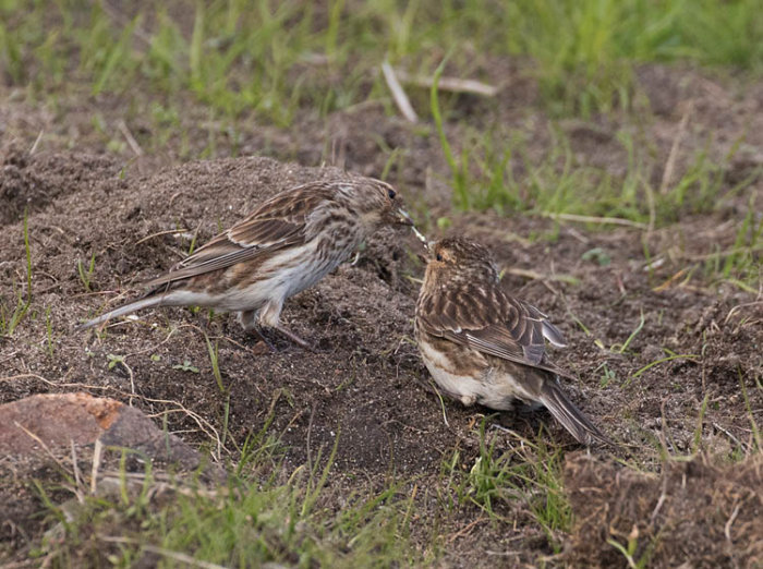 Twite - Juvenile and Adult
