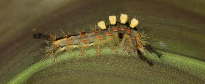 Vapourer Moth - Larva