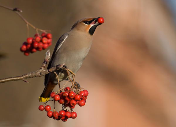 Waxwing eating Rowan Berry