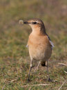 Wheatear with Grub