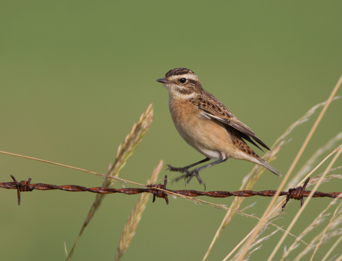 Whinchat on Barbed Wire