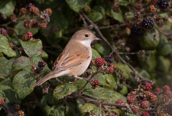 Female Common Whitethroat