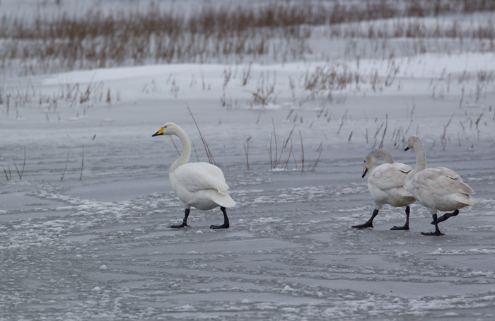 Whooper Swans - On Ice