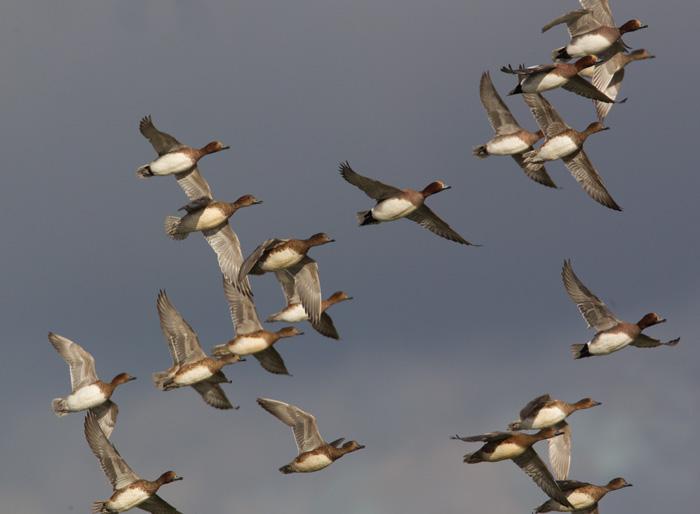 Wigeon Flock