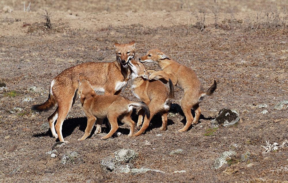 Ethiopian Wolf Greeting Pups