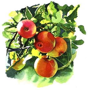 Norfolk apples