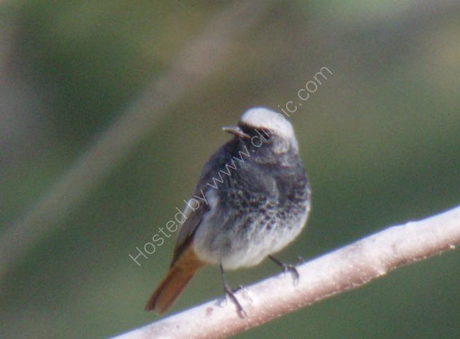 black redstart (male)