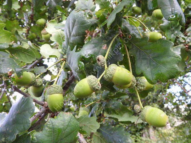 acorns (oak)
