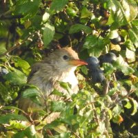 rose coloured starling (juvenile)