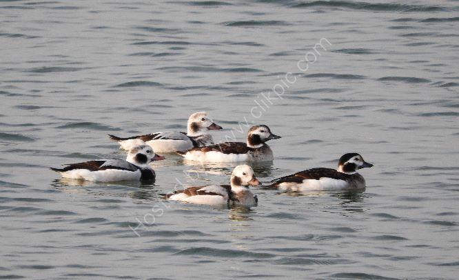 long tailed ducks