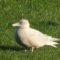 juvenile glaucous gull 2