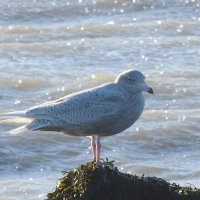 juvenile glaucous gull 4