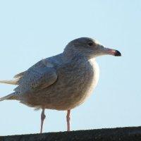 juvenile glaucous gull 1
