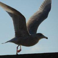 juvenile glaucous gull 3
