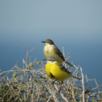 blue headed wagtails