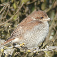 red backed shrike (juv)