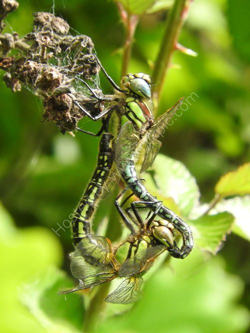 hairy dragonfly - pair mating