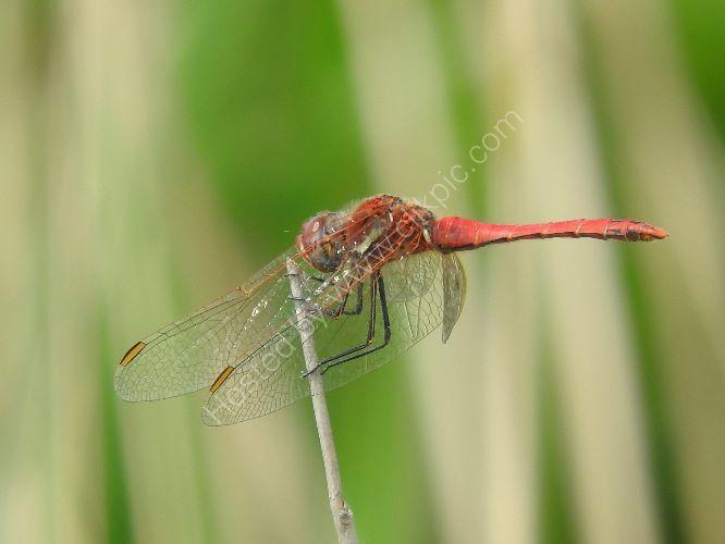 red veined darter (male)