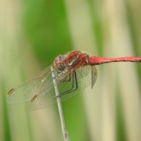 red veined darter (male)