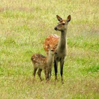 sika deer with young