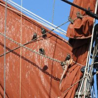 starlings 'in the rigging'