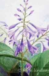 Hostas in Flower