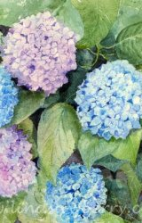 My French Hydrangeas  SOLD