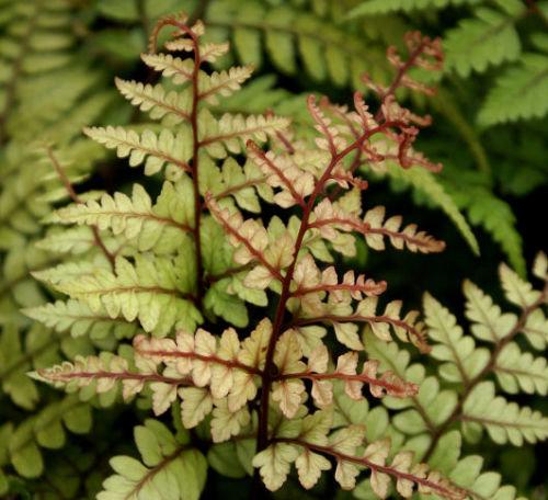 Athyrium otophorum  'Okanum' 9cm €4.95