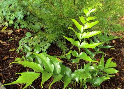 Cyrtomium falcatum - Japanese Holly fern 9cm €4.95