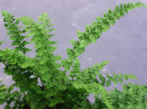 Dryopteris affinis  'Cristata Angustata' AGM 9cm €4.95