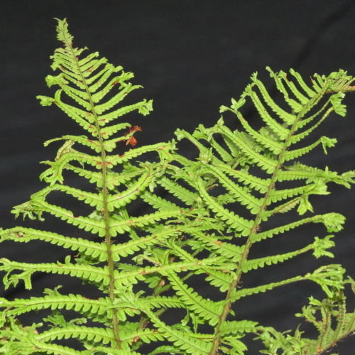 Dryopteris affinis 'Cristata The King' AGM King of the Ferns 9cm €4.95