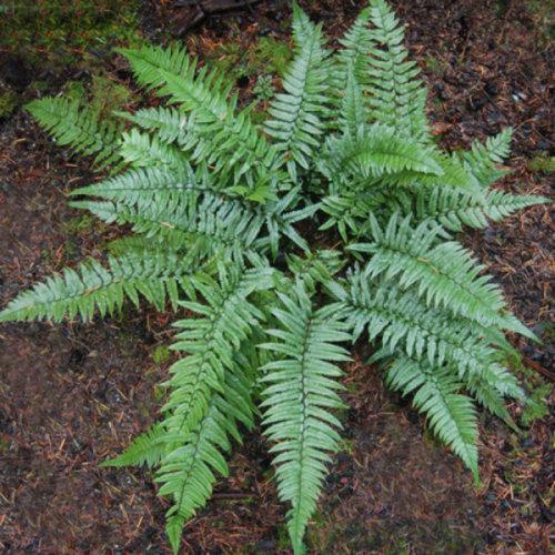 Polystichum xiphophyllum- Asian Sword Fern 9cm €5.95