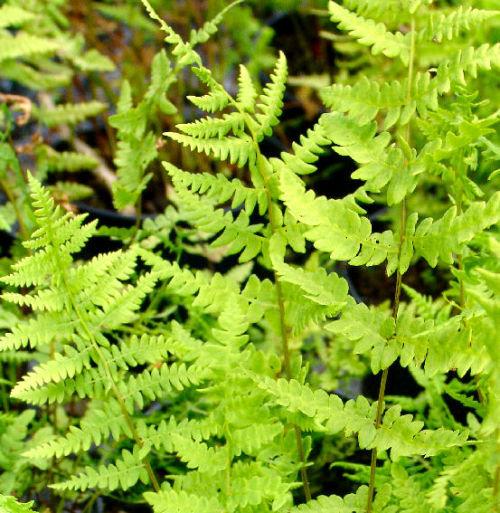 Thelypteris palustris - Marsh Fern 9cm €4.95
