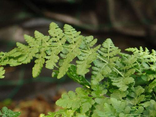 Woodsia obtusa - Blunt-lobed Woodsia 9cm €4.95