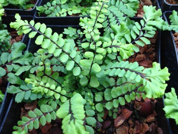 Asplenium trichomanes 'Cristatum' (Crested Maidenhair Spleenwort)