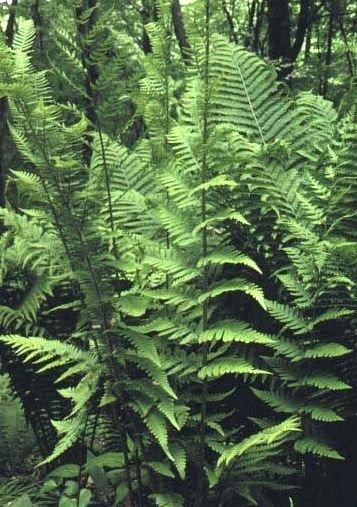 Dryopteris X australis - Dixie Wood Fern 9cm €5.95