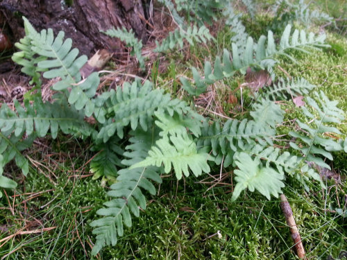 Polypodium vulgare - Common Polypody- 9cm €4.95