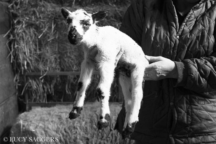 Mule lamb, Bransdale, March 2014