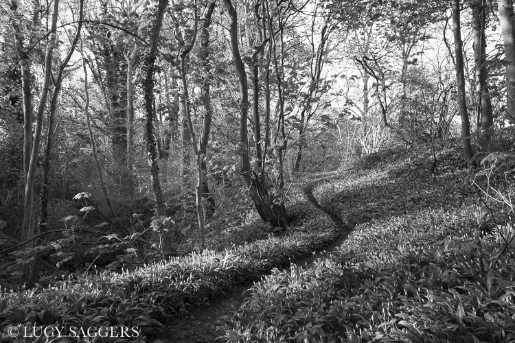 Wild garlic woods, Ampleforth, May 2013