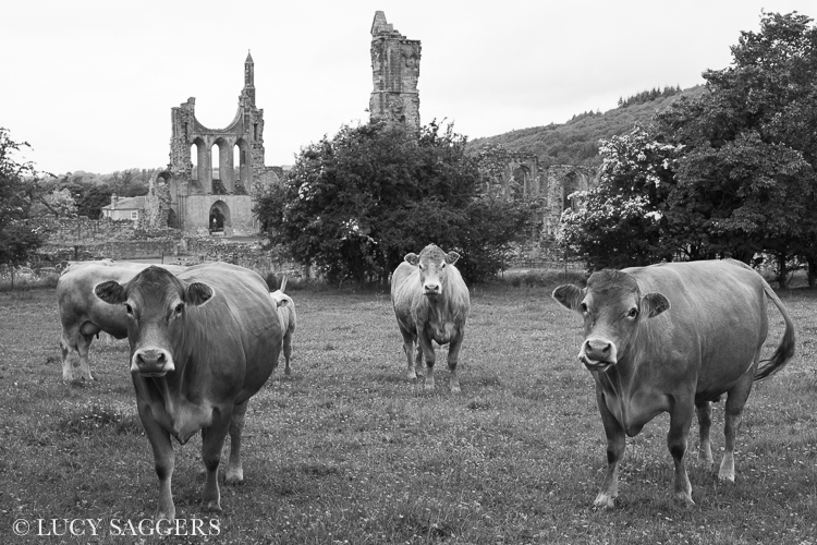 Cows at Byland Abbey, June 2013