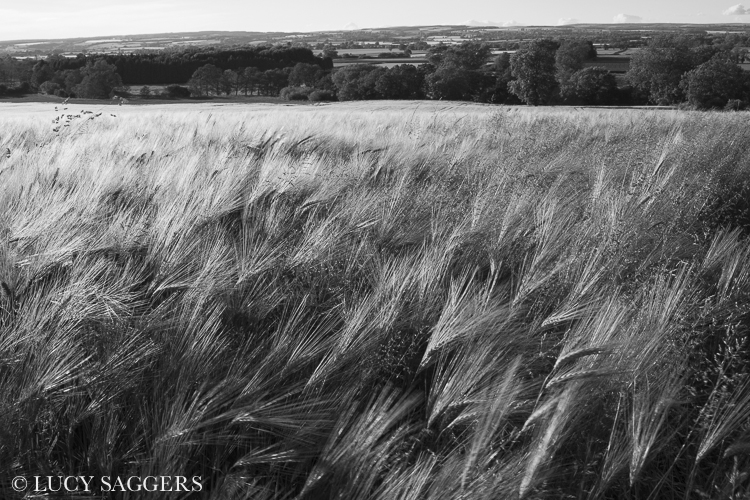 Barley in the wind on midsummers evening, Nunnington, June 2013