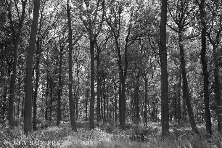 Golden square oak woods, June 2013