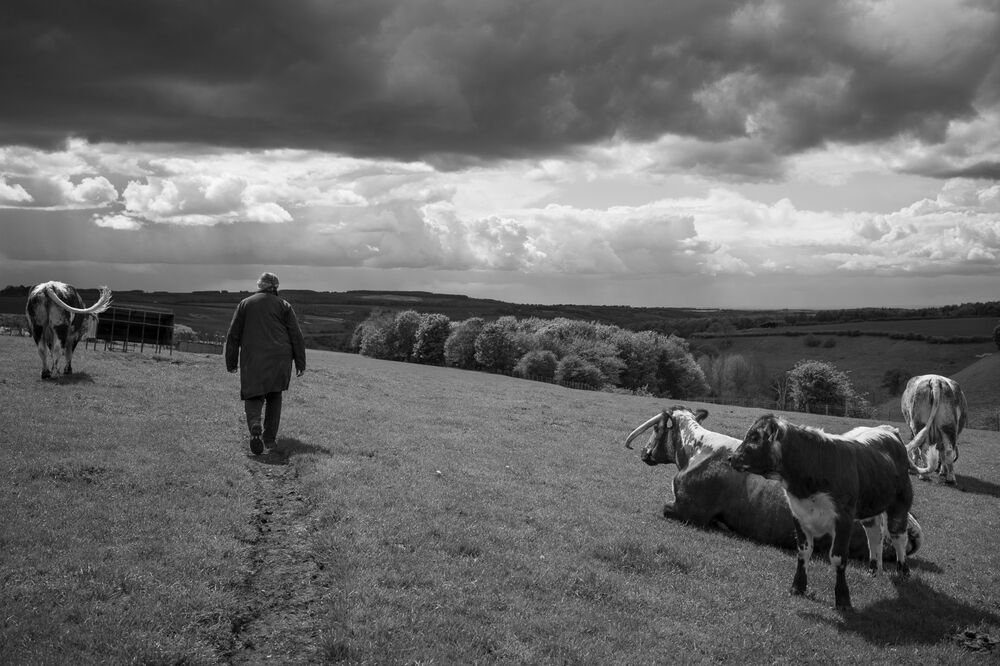Ruth Russell with her pedigree longhorns, Duggleby, North Yorkshire