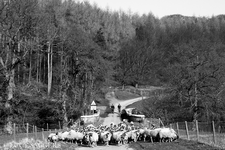 Bringing in the ewes, Bransdale, March 2014