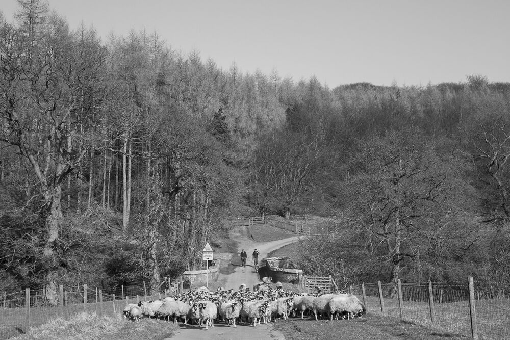 Bringing the ewes off the moor for lambing, Bransdale
