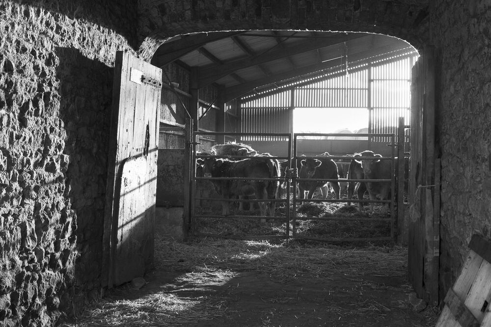 Cattle in the byre